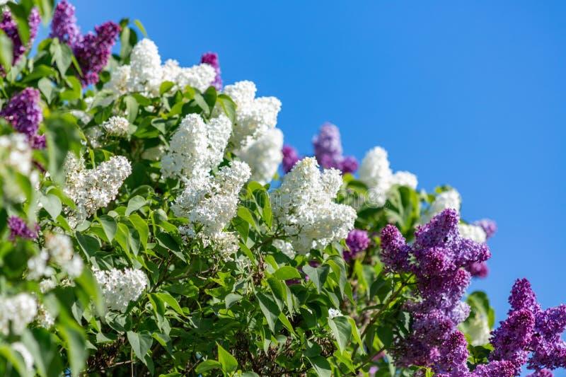 Kwitnący biali i purpurowi bzy rozgałęziają się w wiośnie Mali florets lila wiosna w ogródzie zdjęcie stock