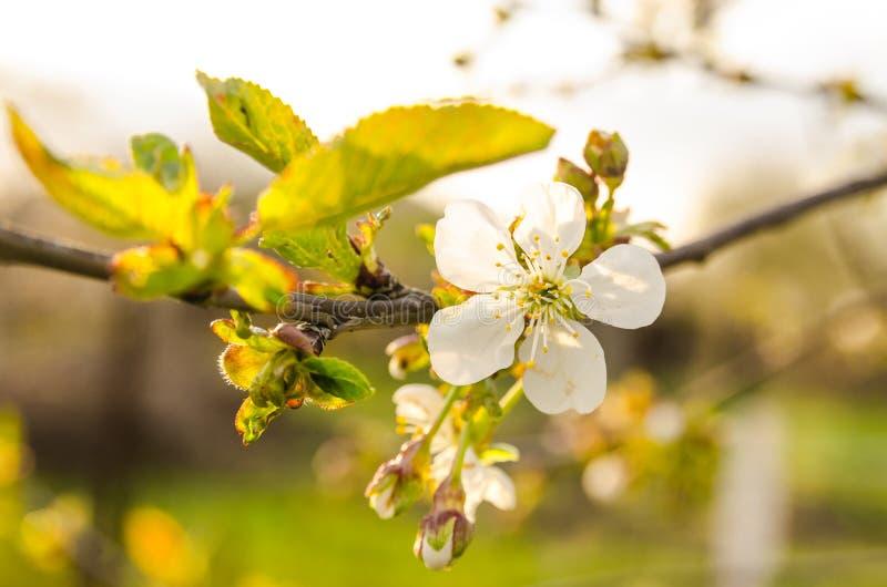 Kwitnący biali kwiaty na gałąź zdjęcia stock