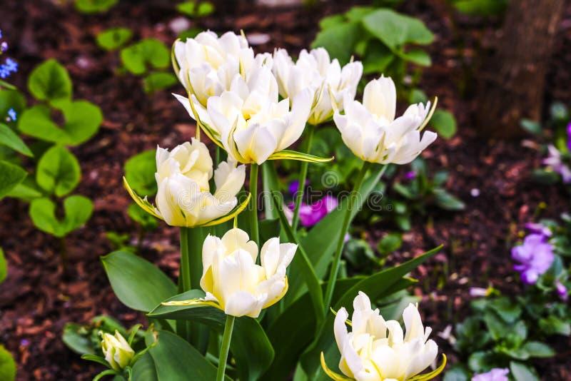 Kwitnący biali tulipany z kolorowym kwiecistym tłem Świąteczna romantyczna fotografia dla plakata, druk, ślub, zaproszenie karta, zdjęcie stock