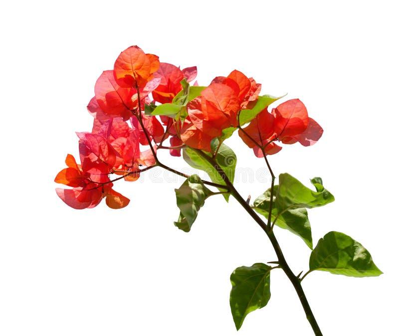 kwitnący bougainvillea fotografia royalty free