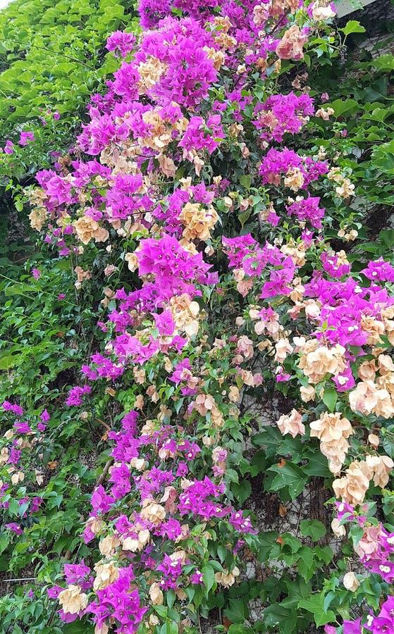 Kwitnący bougainvillea w hotelu ogródzie, Kemer denny kurort, Turcja fotografia stock