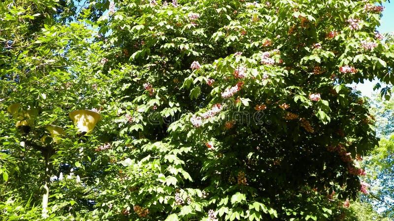 Kwitnący bzy w parku zdjęcia stock