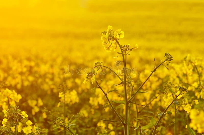 Kwitnący canola kwitnie na rolniczym polu Gwałt w naturze w wiośnie Jaskrawy koloru żółtego olej Kwiatonośny rapeseed fotografia obrazy royalty free
