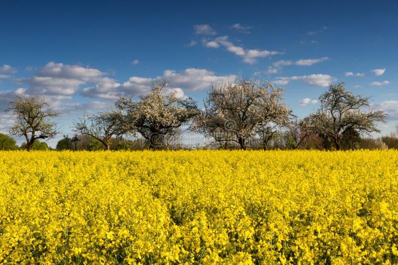 Kwitnący canola pola, jabłonie i obraz royalty free