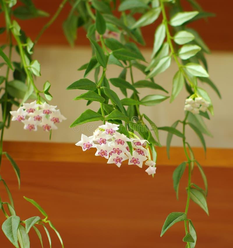kwitnący carnosa Hoya zdjęcia royalty free