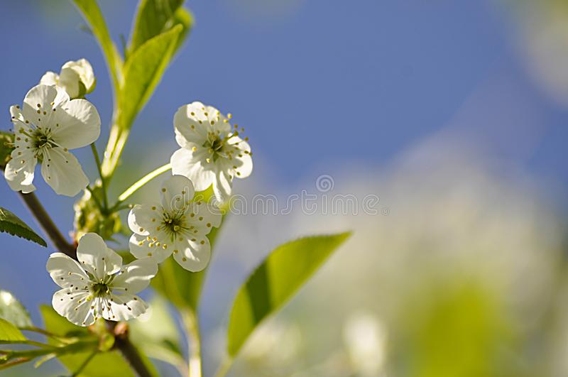 Kwitnący czereśniowy drzewo wewnątrz może zdjęcia royalty free