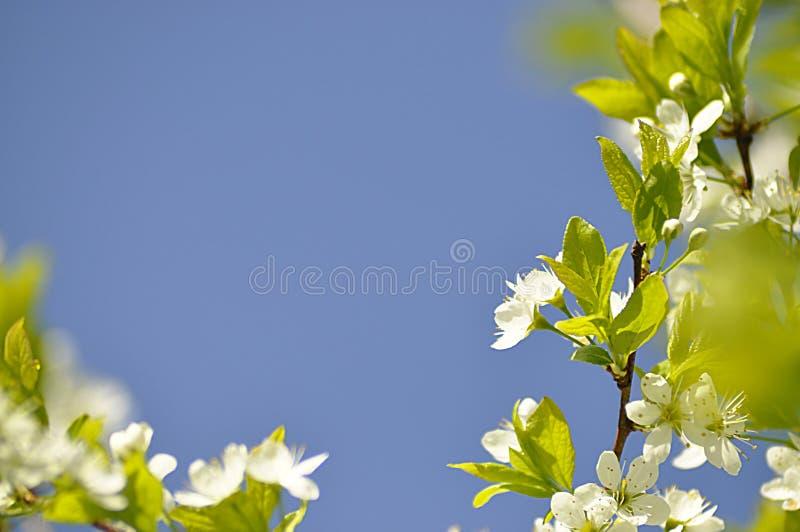 Kwitnący czereśniowy drzewo wewnątrz może zdjęcia stock