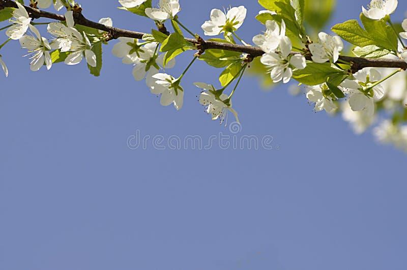 Kwitnący czereśniowy drzewo wewnątrz może obrazy stock