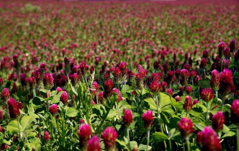 Kwitnący czerwonej koniczyny pole fotografia royalty free