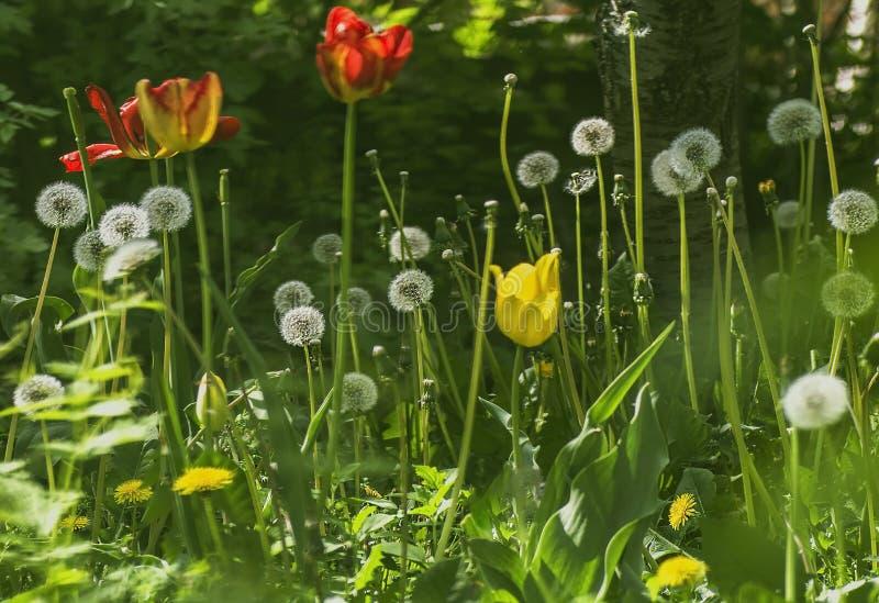 kwitnący czerwoni, żółci tulipany i fotografia stock