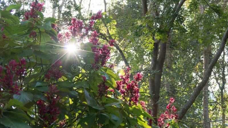 kwitnący czerwony kwiat Megaskepasma erythrochlamys Lindau z s fotografia stock