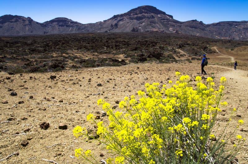 Kwitnący Descurainia na skłonach wulkan zdjęcia stock