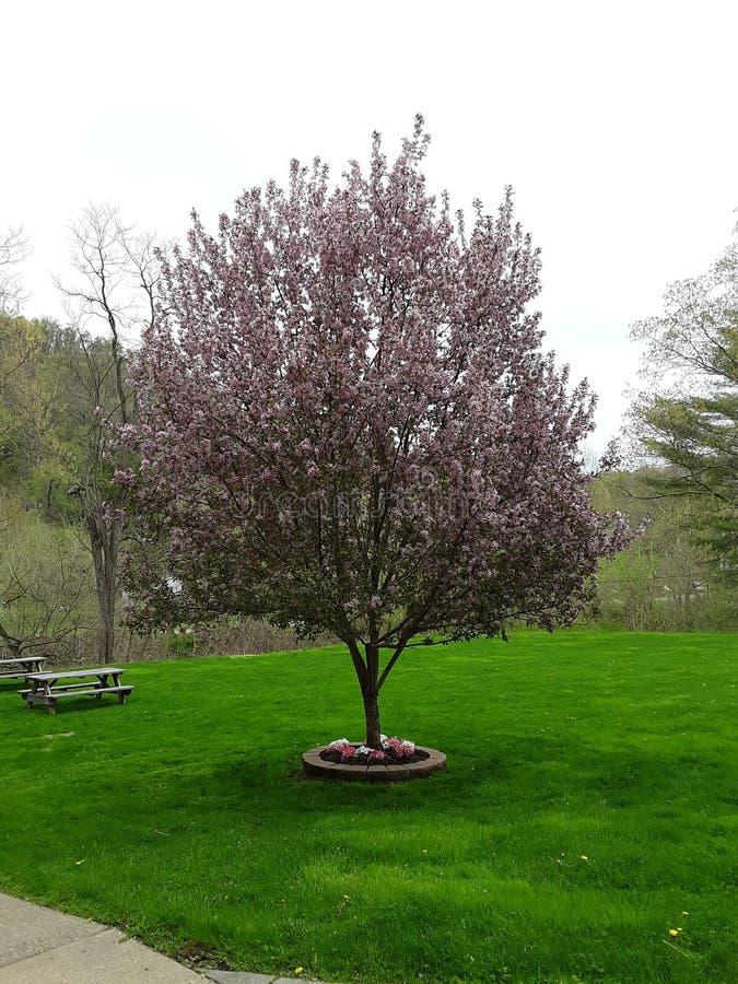 Kwitnący drzewo przy kościół zdjęcie stock