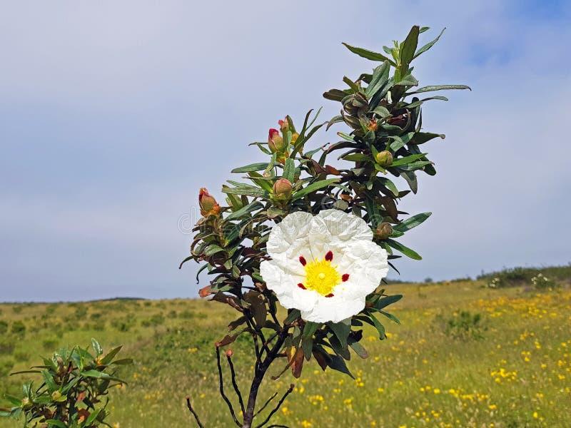 Kwitnący dziąsło skałę wzrastał - cistus ladanifer w wrzosowiskowych polach obraz royalty free