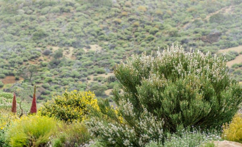 Kwitnący endemiczny krzak Biali kwiaty Retama rhodorhizoides Dziki Tajinaste na zamazanym tło parku narodowym Teide, fotografia royalty free