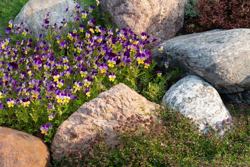 Kwitnący fiołki i inni kwiaty w małym rockery w lecie uprawiają ogródek obraz stock