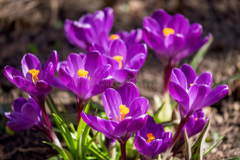 Kwitnący fiołkowi krokusy pod jaskrawym światłem słonecznym w wczesnym wiosna lesie fotografia royalty free