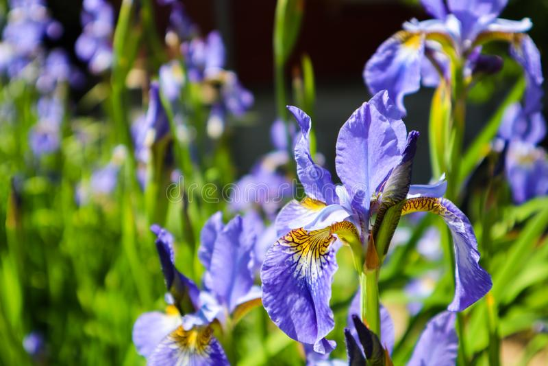 Kwitnący fiołkowy irysowy kwiat w ogródzie poj?cia ogrodnictwo kwiat ?wiat?a playnig t?o obraz stock