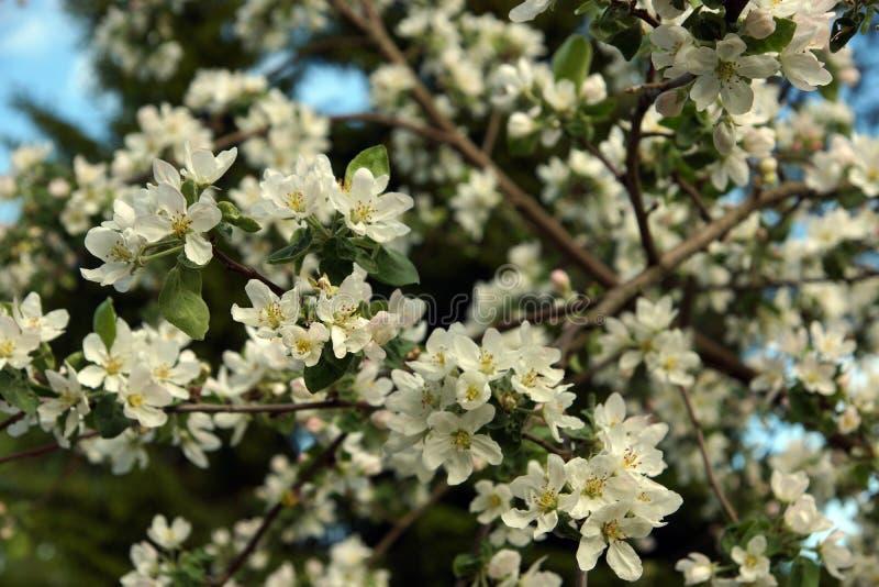 Kwitnący gałąź jabłoń z wiele delikatnymi kwiatami na tle zieleń uprawia ogródek w wiośnie obraz royalty free