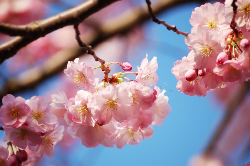 kwitnący gałęziasty czereśniowy drzewo zdjęcia stock