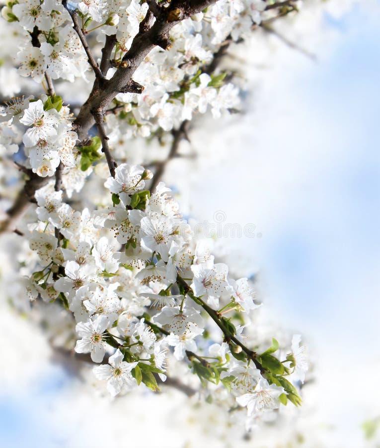 kwitnący gałęziasty owocowy drzewo obrazy royalty free