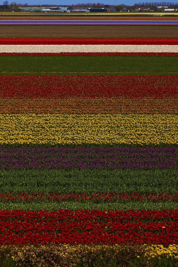 Kwitnący Holandia tulipany obraz royalty free