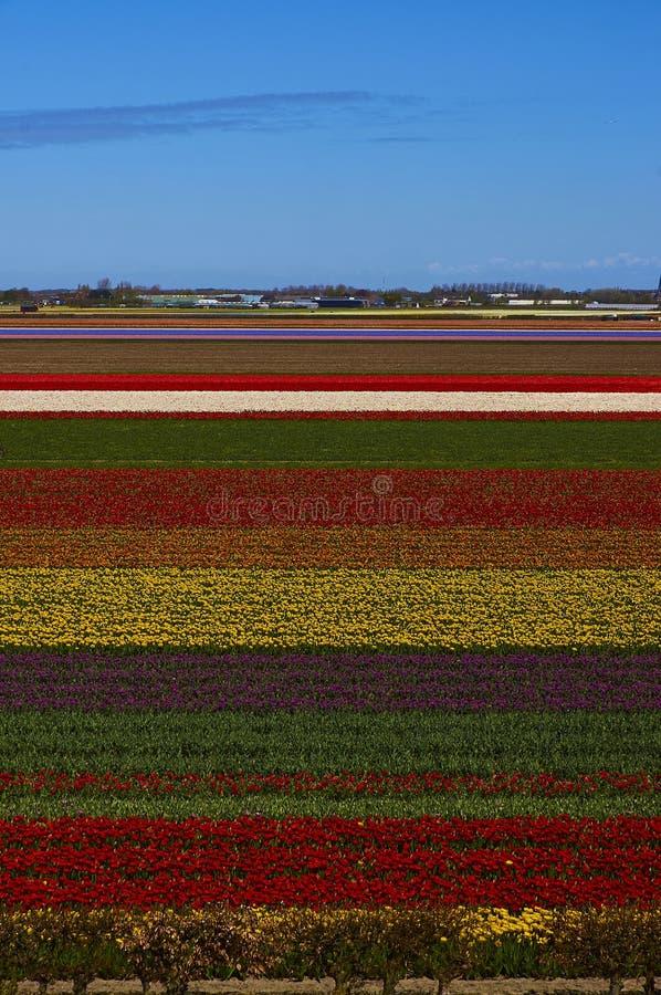Kwitnący Holandia tulipany zdjęcie stock
