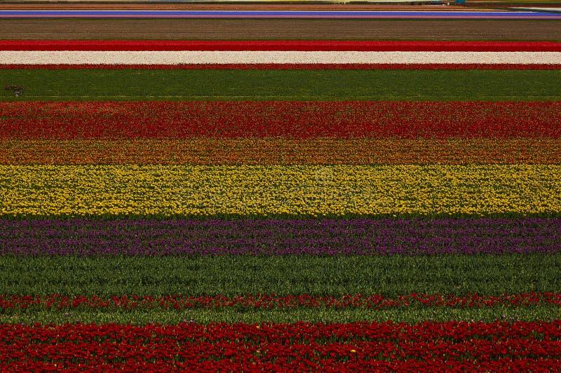 Kwitnący Holandia tulipany zdjęcia stock