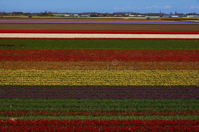 Kwitnący Holandia tulipany obrazy stock