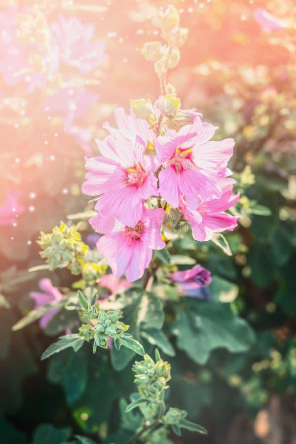 Kwitnący hollyhock w ogródzie lub parku Kwiatu łóżko zdjęcie stock