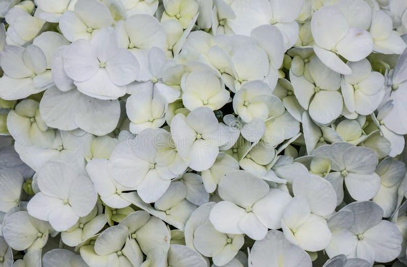 Kwitnący hortensja kwiaty zamknięci w górę zdjęcie royalty free