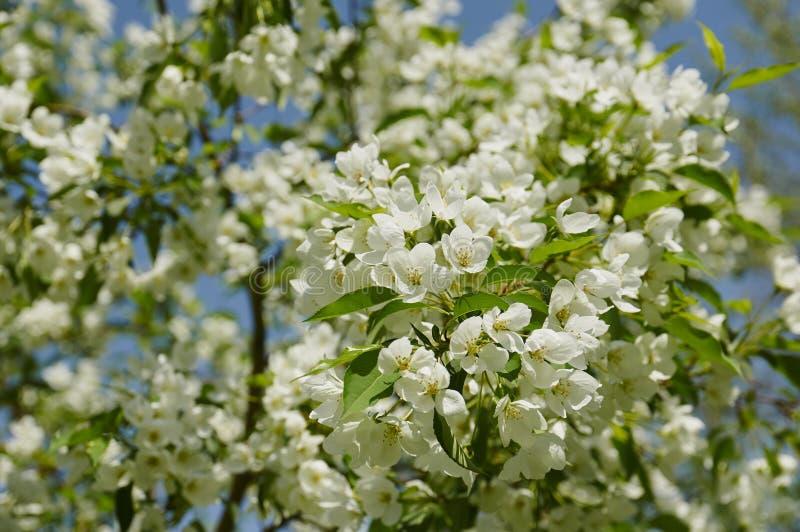 Kwitnący jabłoni rozgałęzia się w wiośnie zdjęcie royalty free