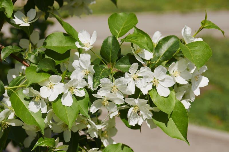Kwitnący jabłoni rozgałęzia się w wiośnie zdjęcia royalty free