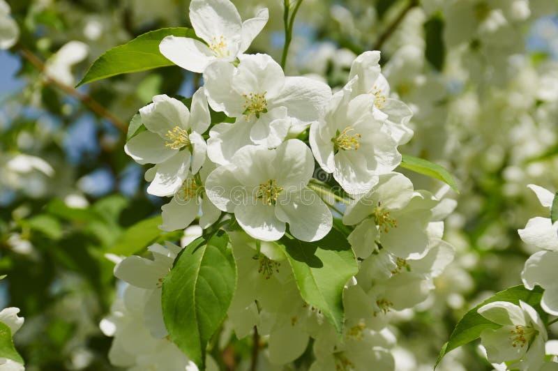 Kwitnący jabłoni rozgałęzia się w wiośnie obrazy royalty free