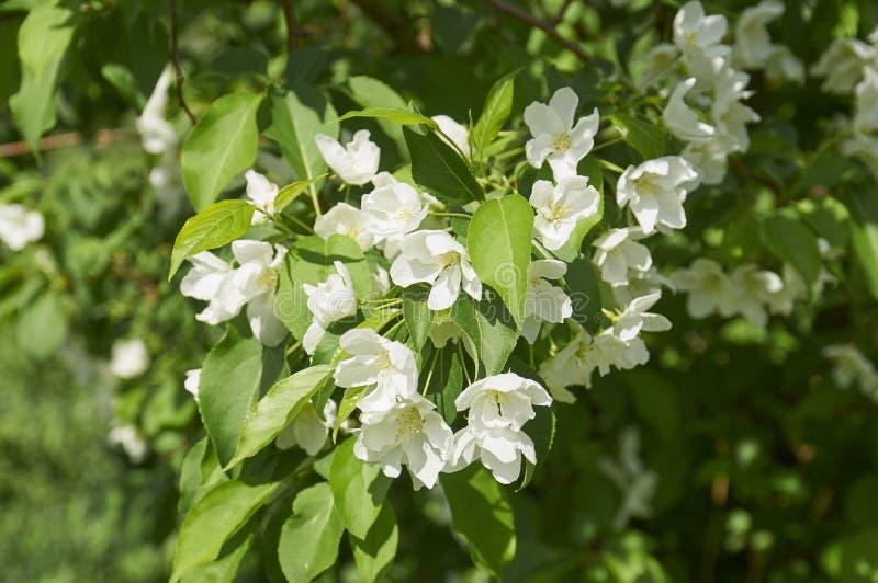 Kwitnący jabłoni rozgałęzia się w wiośnie fotografia stock