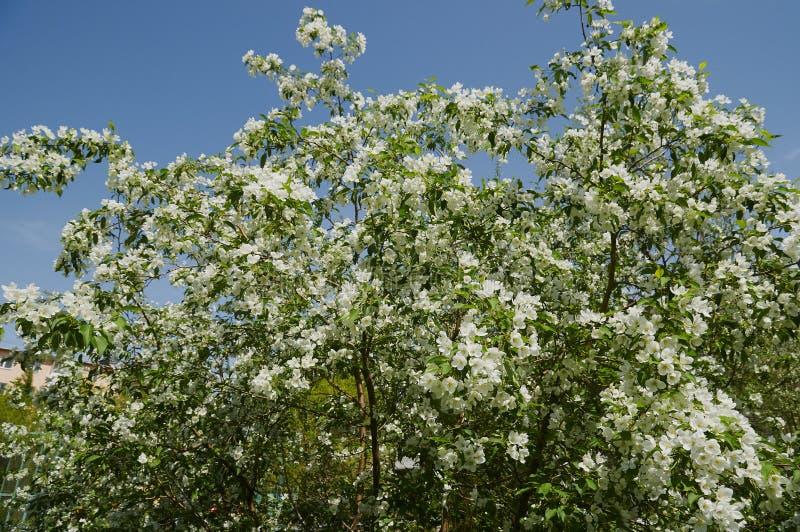 Kwitnący jabłoni rozgałęzia się w wiośnie fotografia royalty free
