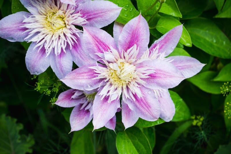 Kwitnący ` Josephine ` clematis w ogródzie zdjęcie stock