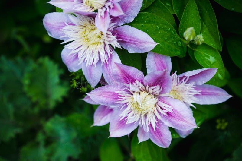 Kwitnący ` Josephine ` clematis w ogródzie obrazy royalty free