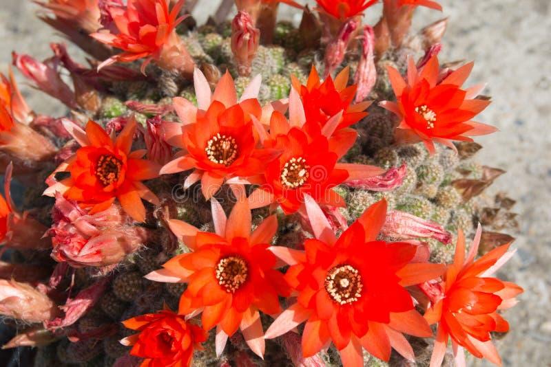 Kwitnący kaktus, jaskrawi czerwień kwiaty obraz stock