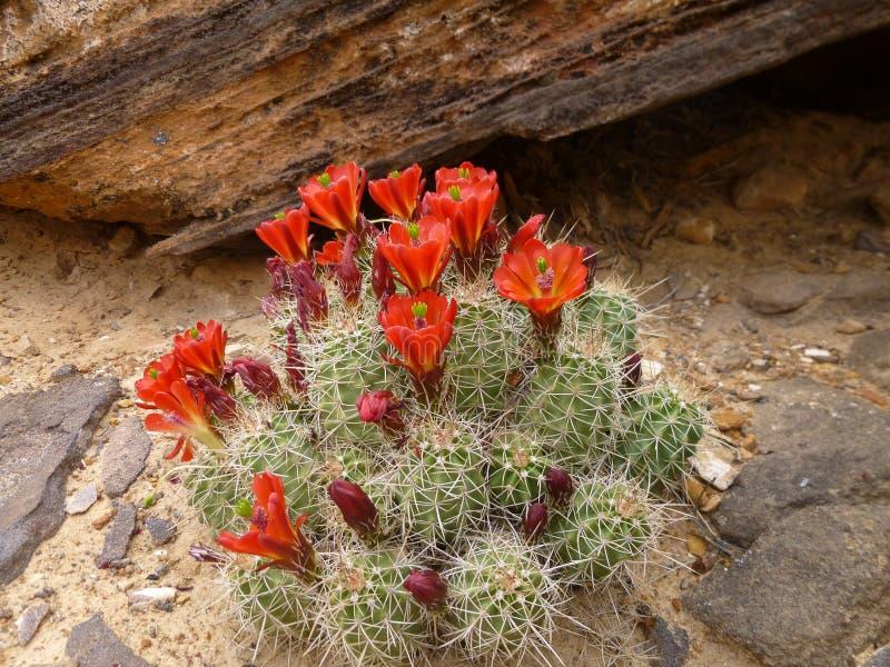 Kwitnący kaktus w pustyni obrazy royalty free
