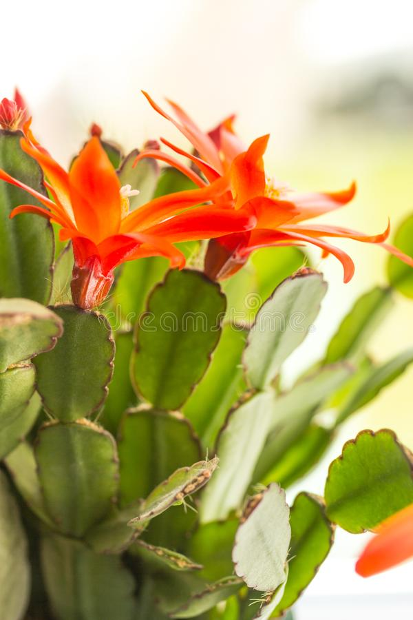Kwitnący kaktus z czerwonymi kwiatami fotografia stock