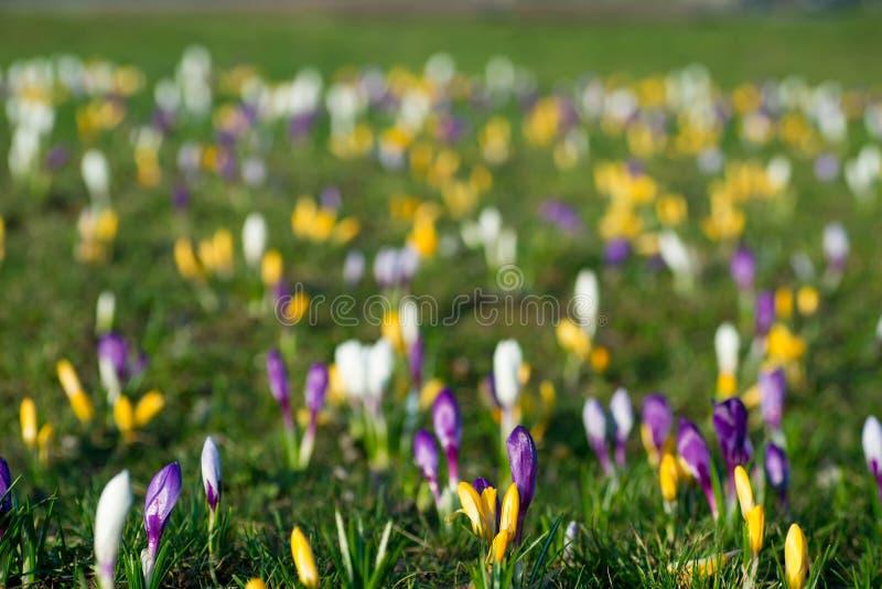 Kwitnący krokus kwitnie w wiosny łąkowej selekcyjnej ostrości obraz royalty free