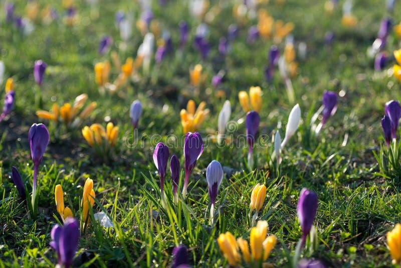 Kwitnący krokus kwitnie w wiosny łąkowej selekcyjnej ostrości zdjęcia royalty free
