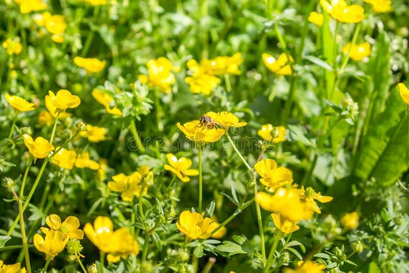 Kwitnący kwiat w wiośnie, pszczoła, jaskier, crowfoot, zdjęcie royalty free