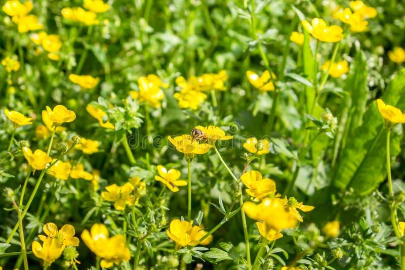 Kwitnący kwiat w wiośnie, pszczoła, jaskier, crowfoot, ranunculus obraz stock