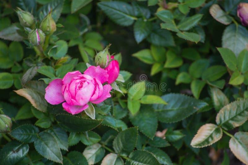 kwitnący kwiat wzrastał zdjęcie royalty free