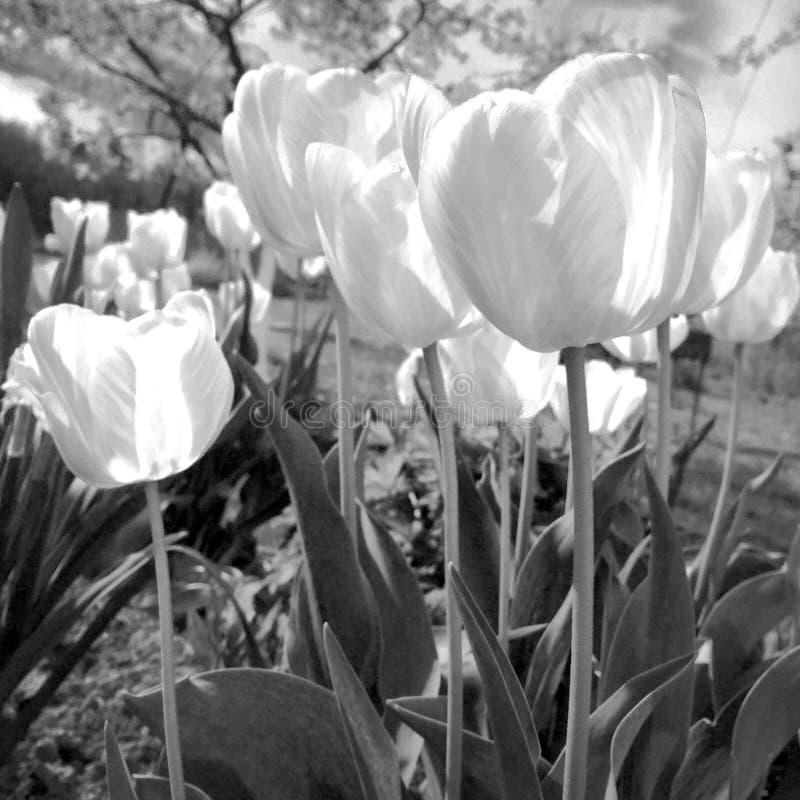 Kwitnący kwiatu tulipan z zielonymi liśćmi, żyje naturalną naturę zdjęcia royalty free
