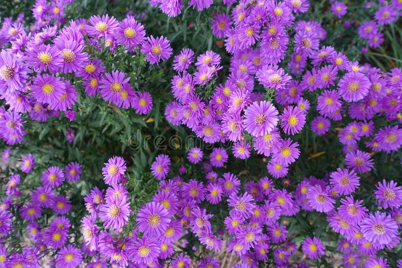 Kwitnący kwiecenie kwiatów tła fiołek I zieleń zdjęcia royalty free