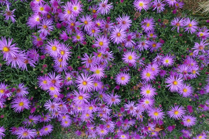Kwitnący kwiecenie kwiatów tła fiołek I zieleń obrazy royalty free