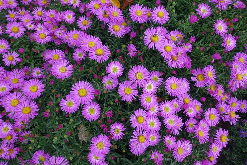 Kwitnący kwiecenie kwiatów tła fiołek I zieleń obraz royalty free